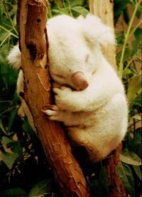 Theme-Australia:Albino Koala