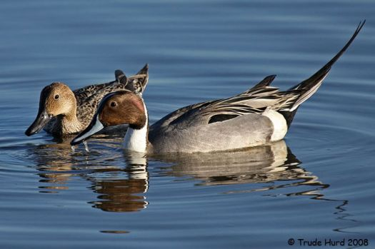 Pair of Pintail Ducks