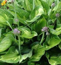 Hosta Buds 'n Blooms