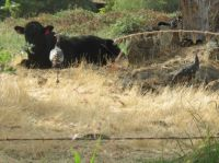 Wild Turkeys & Black Angus Cattle - c