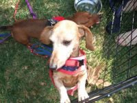 Fleury at dachshund picnic