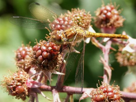 Ruddy Darter - 14th Jul 2003