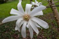 magnolie stellata
