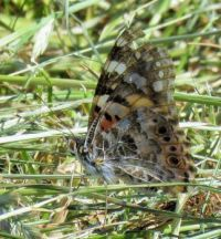 painted lady butterfly (distelvlinder)