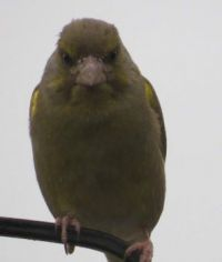 Adult Greenfinch and it doesn't look happy.