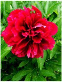 Květ--