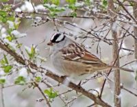 Our White-Crowned Sparrows
