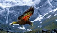 Kea - the world's only mountain parrot -