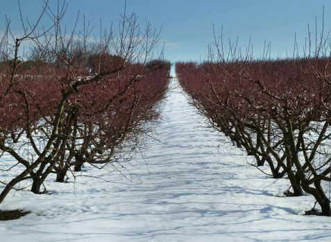 Calcata peach orchard in Winter