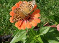 neznámý motýl / unknown butterfly