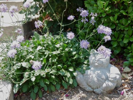 Buddha Kitty and Scabiosa