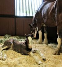 One-month-old Clydesdale Filly (large)