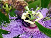 Bumble bee and passion flower
