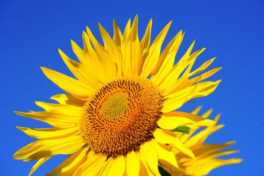 Sunflower Loving Blue Sky