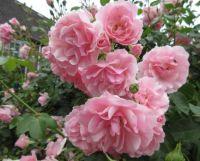 My Bonica Rose (19 June 2021)