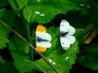 Male and Female Orange-tip