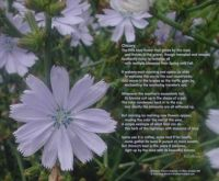 CHICORY-BLOSSOM and Poem for Beekay