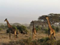 giraffes and ostriches