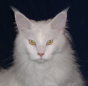 Meet The Iceman he is one of my Maine Coons