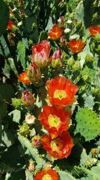 Beautiful cactus flowers!
