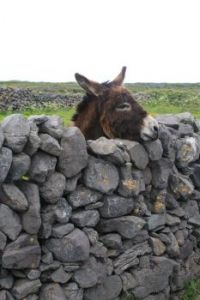 Donkey on Stone Wall, Aran Islands, County Galway, Ireland