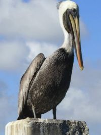 Pelican Key West 2015
