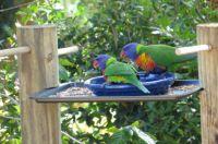 Rainbow Lorikeets on new feeder :))) At last!!