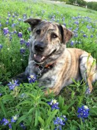 happy dog in the bluebonnets