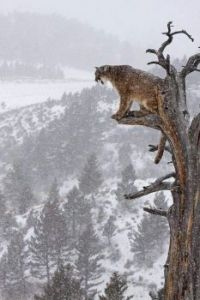 Cougar in Tree.jpg