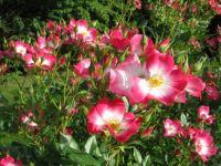 Rožni grm - A rose shrub / At the Volčji Potok Arboretum