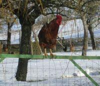 Cockerel on Fence