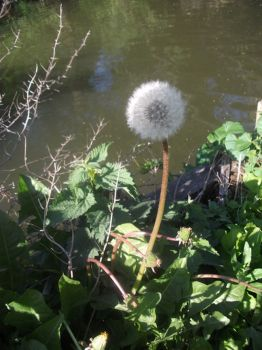 DANDELION BY THE WATER