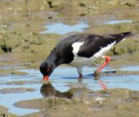 oystercatcher, trying to catch some food (scholekster)