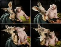 Baby_kangaroo_and_wombat