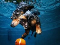 Dog Diving for Ball