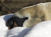 Swan - just resting