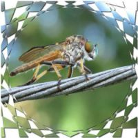 Robber fly ...