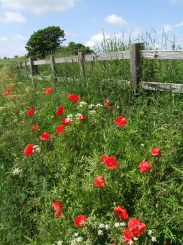 Poppies at Asgarby - 4th Jun 2007