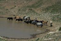 PRYOR MOUNTAIN HORSES at the WATERHOLE