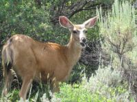 Mule Deer at Black Canyon of the Gunnison, CO.