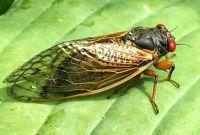 17 year Brood X Cicada is hatching - Baltimore