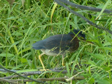 Green Heron in the reeds by the pond.