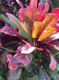 The beauty of crotons