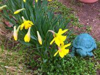 Daffodils and turtle