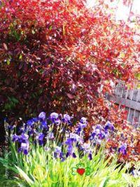 Irises & Photinia