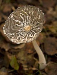 21f2c218c251d8ada7417c9c066dac16.jpg lacey fungi by Theresa Elvin