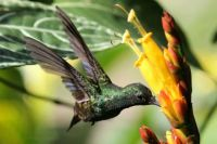 Hummingbird feeding at a flower
