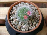 Cactus with flower