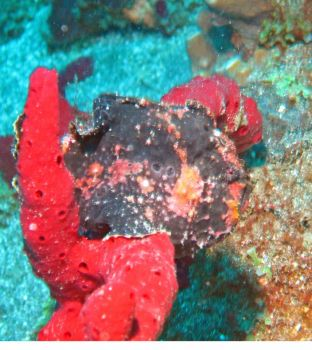 Long-Lure Frogfish