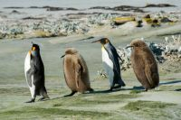 King penguins on parade
